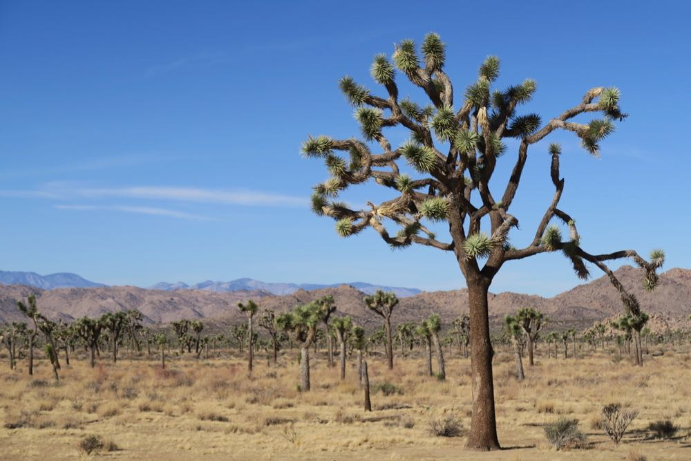 "Early European settles though the Joshua Tree plant looked like the profit ""Joshua"" with his arm spread."