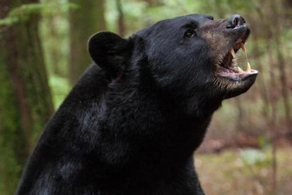 The black bear is the smallest bear in North America